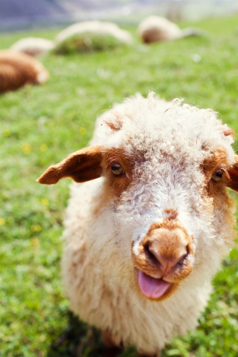 BILD: Funny sheep sticking out tongue in green meadow