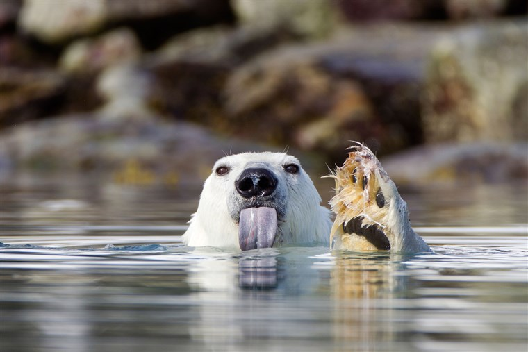 BILD: A polar bear sticks out its tongue