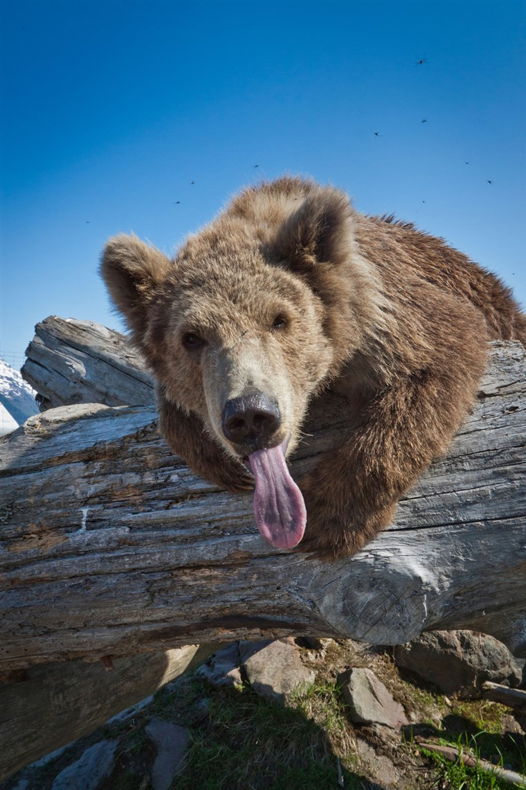 BILD: A Kodiak Brown bear leans across a log with her tongue sticking out