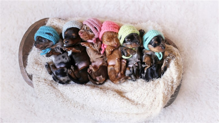 горд Dachshund Mom Poses For Photoshoot With Her Newborn Pups