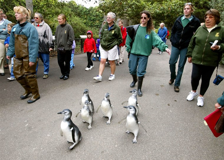 Magellanic penguin chicks waddle through the San Francisco Zoo.