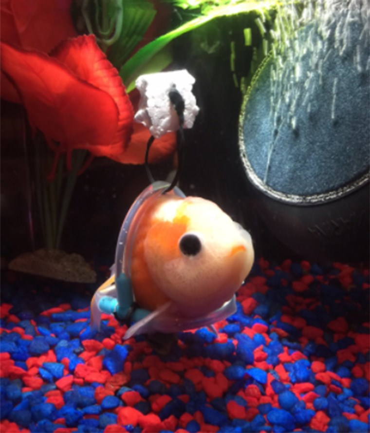 Сега the goldfish's owner is looking for help naming his pet.